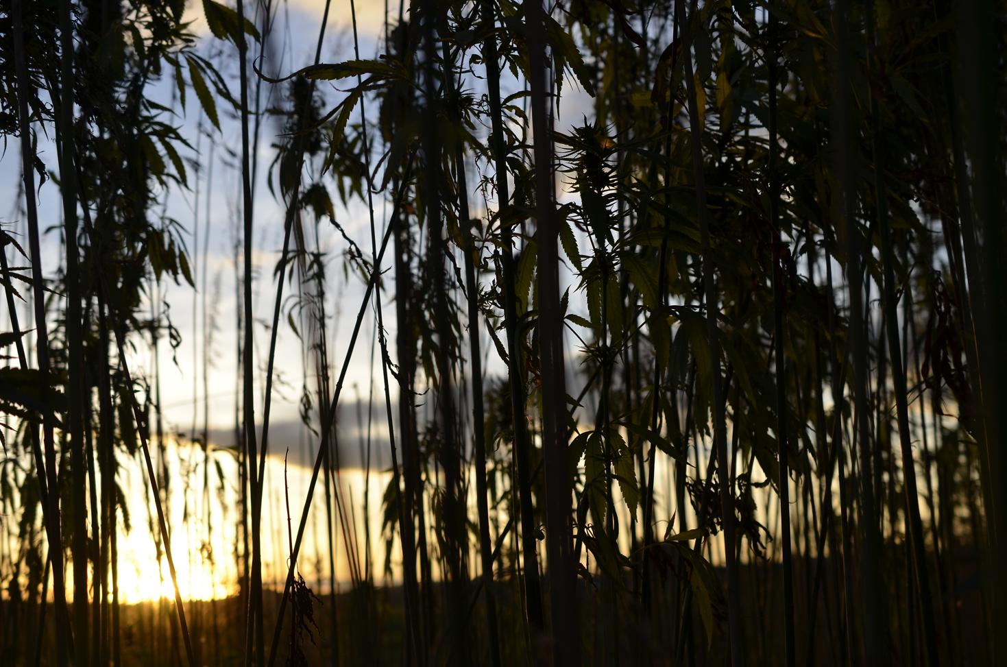 Technické konopí při západu slunce kdesi v České republice. Foto: Tereza Jirásková