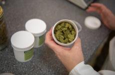 Standardizované léčebné konopí pro registrované pacienty.