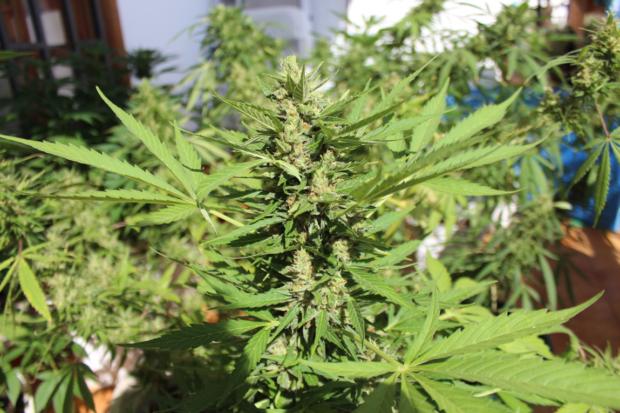 Za pár takových rostlin pro samoléčbu vězení?