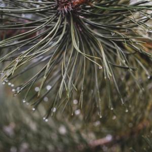 Pinen je hojně obsažen v borovicích. Foto: Unsplash.com