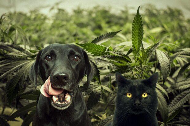 Konopí umí pomáhat i zvířatům. Zdroj: Royal Queen Seeds