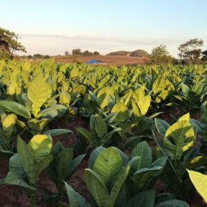 Tabák je skutečně pěkná rostlina s velkými oválnými listy.