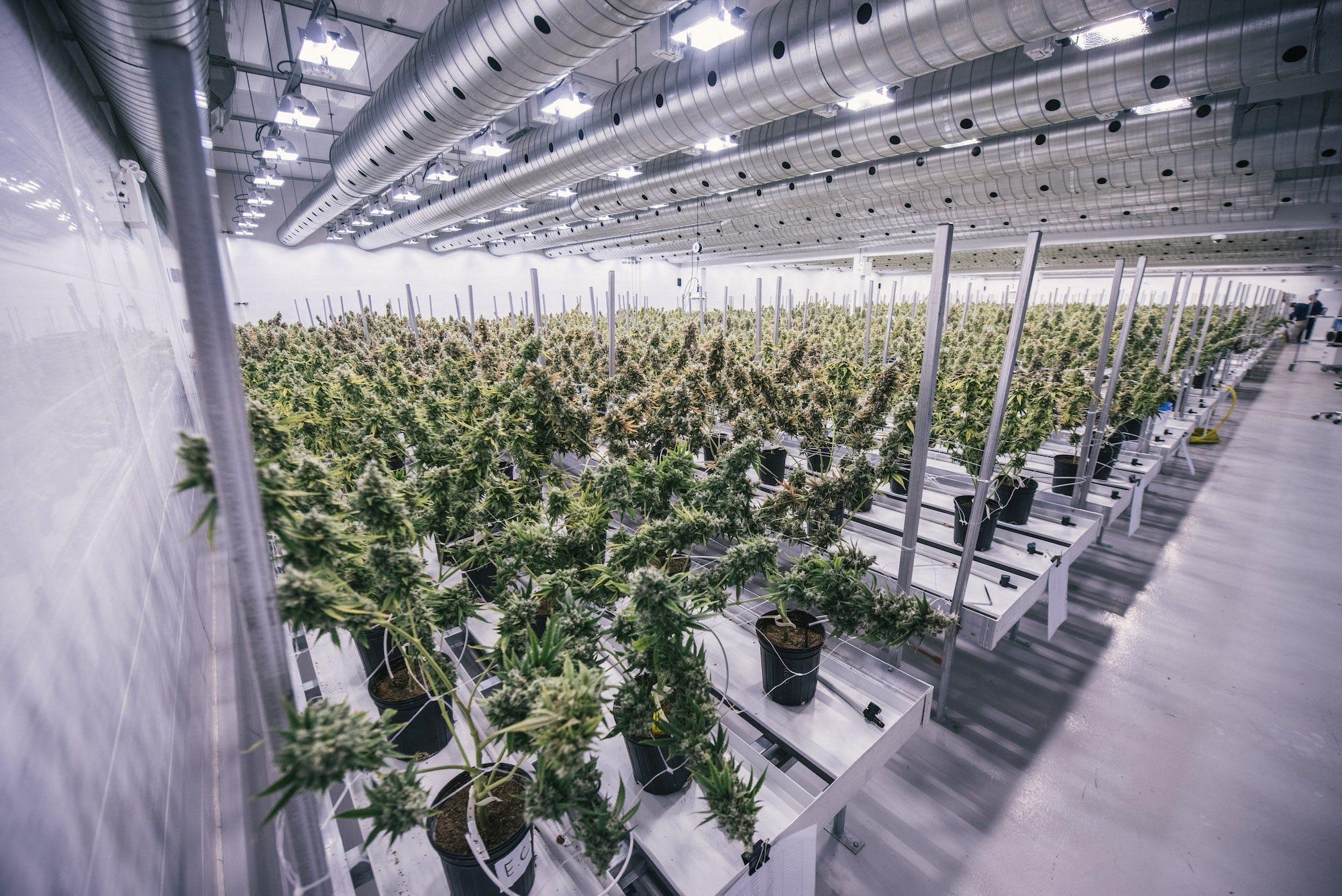 Pěstírna konopí v Kanadě. Zdroj: Canopy Growth Corporation