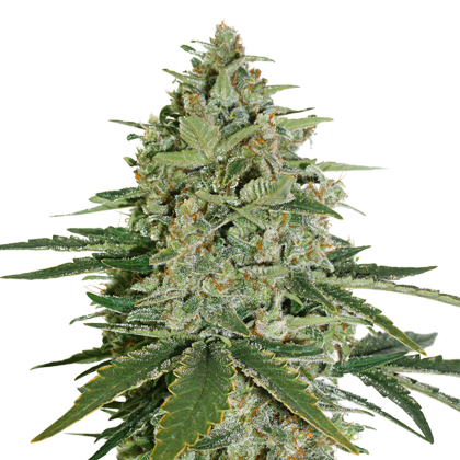 Super Skunk Auto od Seedstockers.