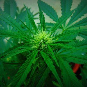 Otázka legalizace či regulace konopí se v mnoha zemích stává nadstranickým tématem. Foto: Kosh