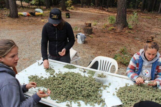 Sklizeň legálního konopí na farmě v Oregonu.
