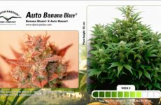 Auto Banana Blaze. Foto: Dutch Passion