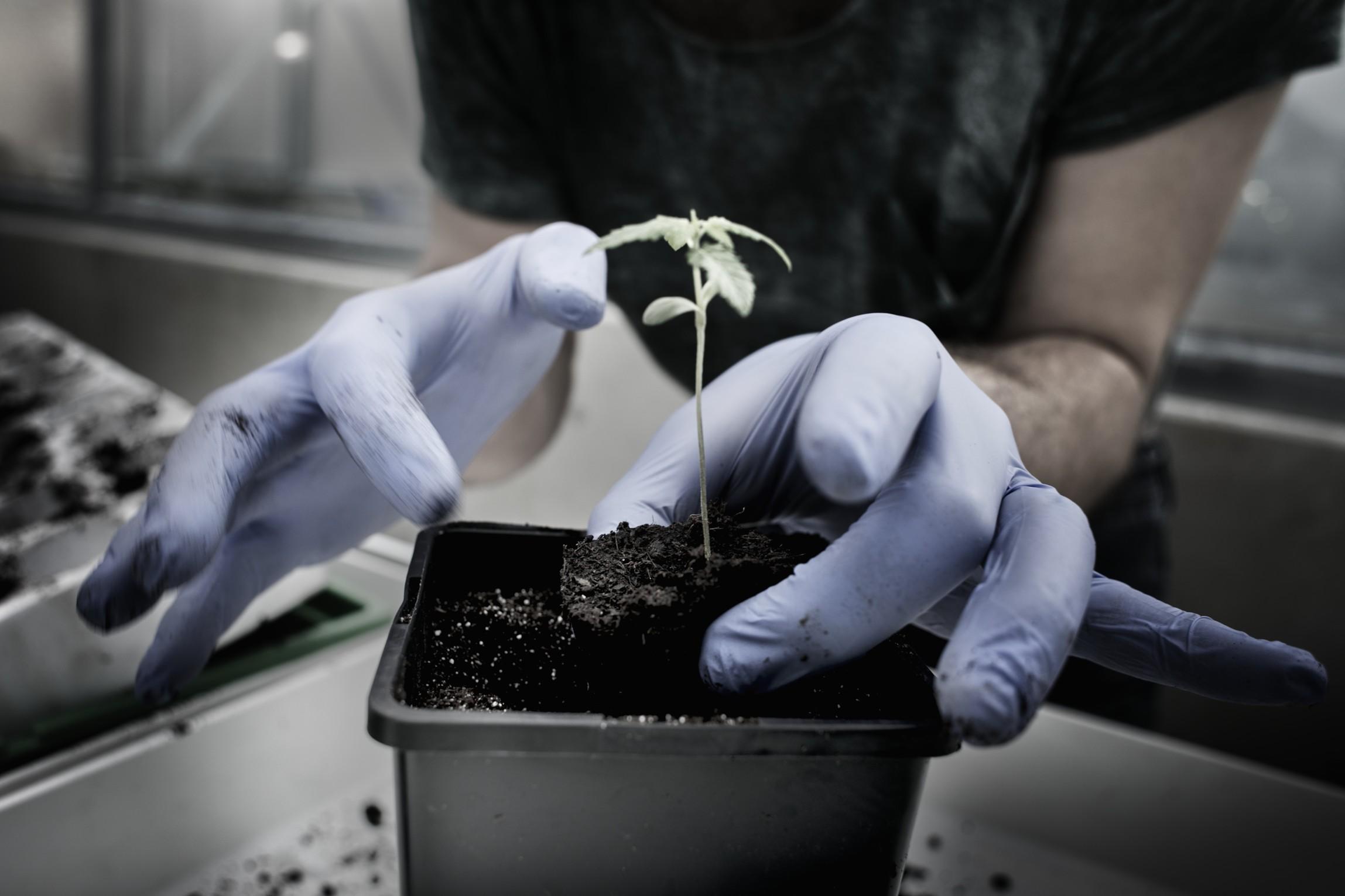 Vpřípadě jednoho vzorku dosáhl obsah THC vsušině dokonce 0,74 %, což je více než dvojnásobek limitu.