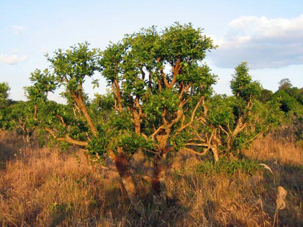 Yerba mate. Zdroj: Wikimedia commons